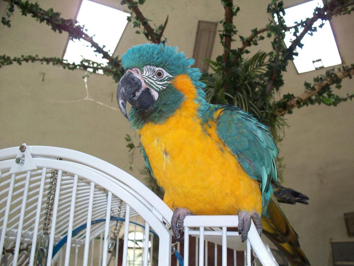 Blue Throated Macaw