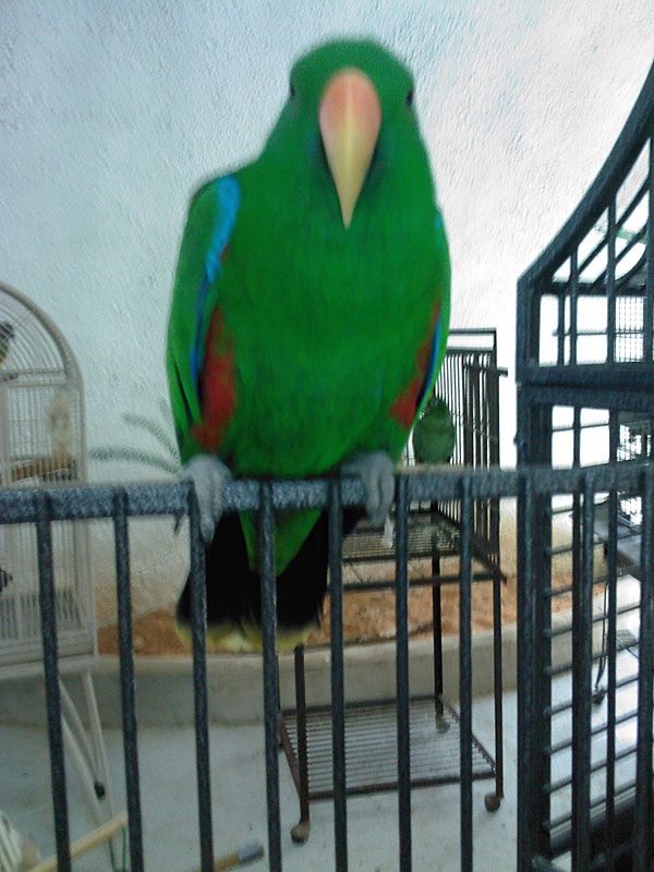 Red Sided Eclectus Parrot