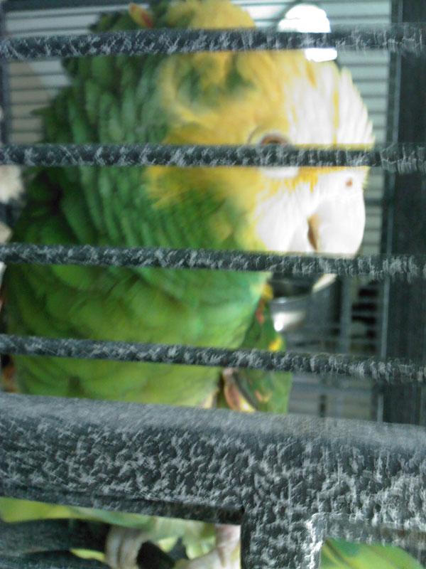 Double Yellow Head Amazon